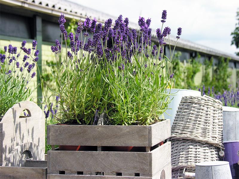 Lavendel In Grote Pot.Lavendel In Marknesse Le Provence In De Polder