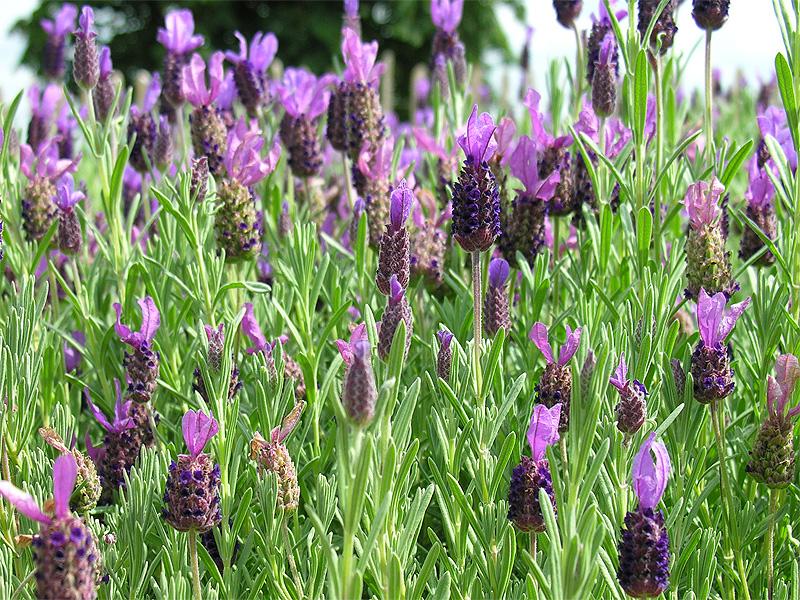 zijde lavendel plant